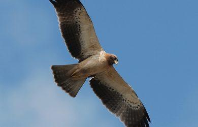 Live Like a Falcon